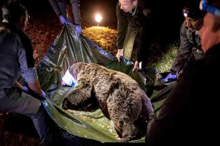 Claverina la oso pardo francesa, en los pirineos