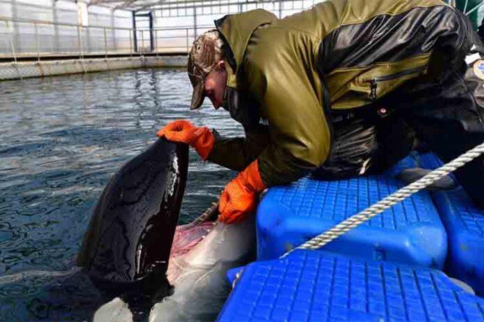 Rusia liberará a las ballenas después de las protestas