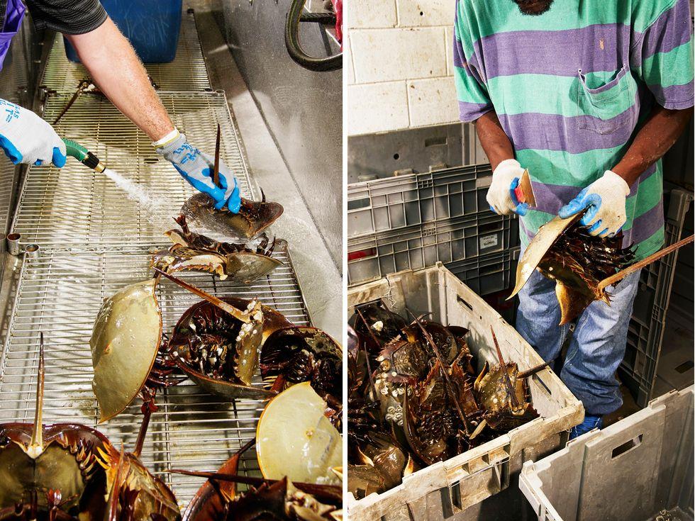 La sangre de cangrejo herradura es una maravilla médica irremplazable
