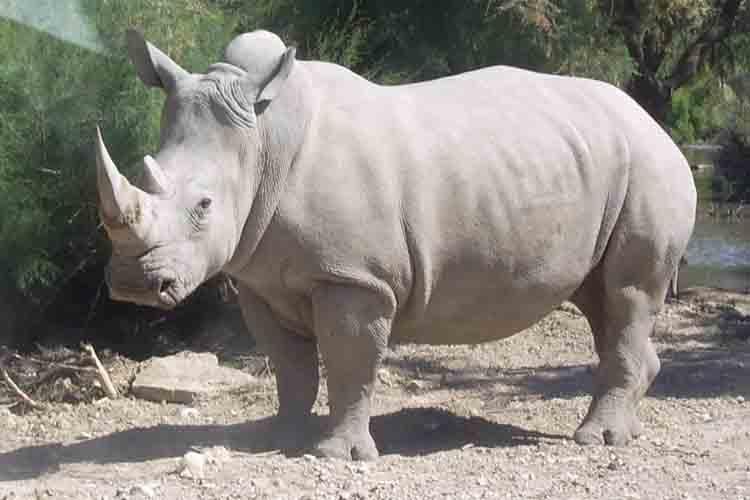 Crean con éxito dos embriones de rinoceronte blanco del norte