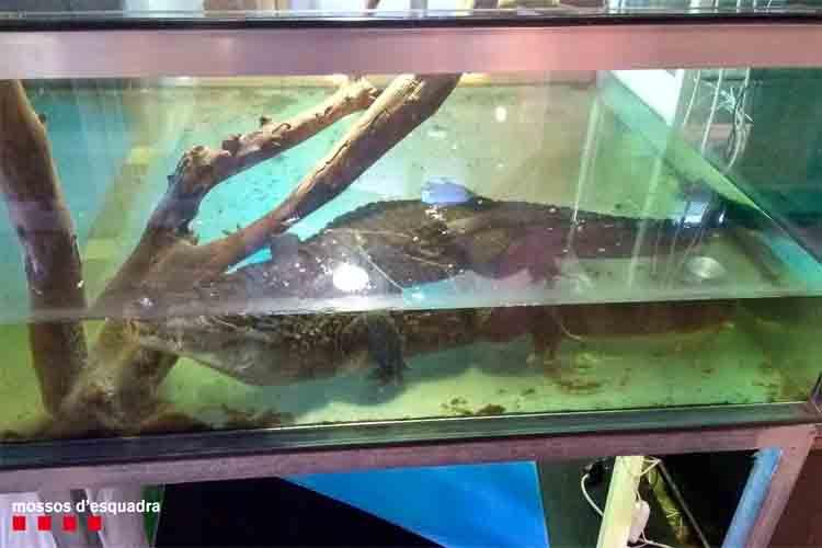 Una tienda de reptiles de Barcelona tenía a la venta un caimán de más de un metro