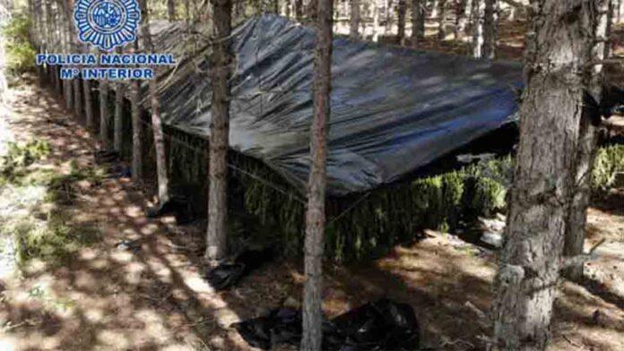 Hallado un campamento de marihuana en el Parque Natural Serranía de Cuenca