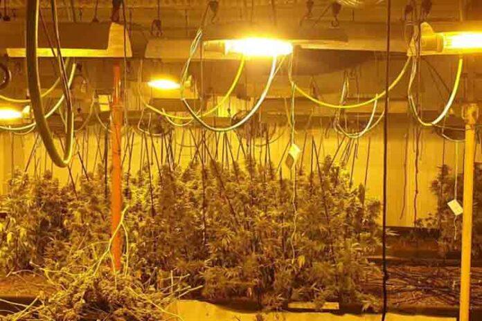 La Guardia Urbana decomisa 3.000 plantas de marihuana en Barcelona