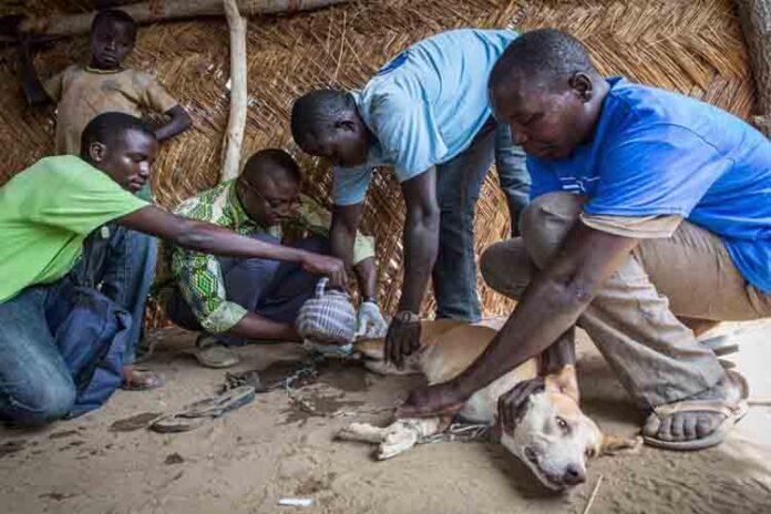 La erradicación del parásito del gusano de Guinea tiene 10 años de retraso