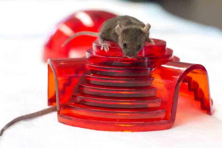 Un fármaco contra el ictus frena el alzheimer en ratones