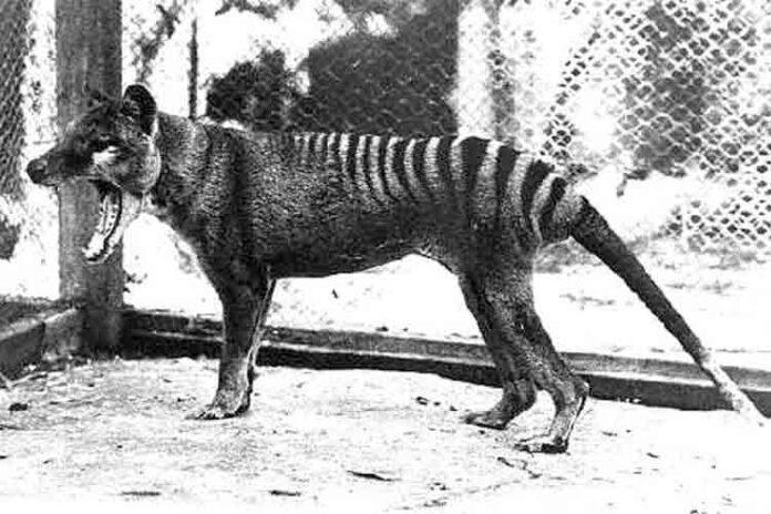 Varias personas han visto recientemente tigres de Tasmania, extinguido desde 1936