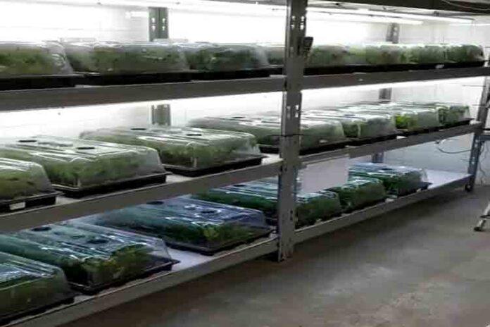 Desarticulada una organización que producía marihuana en naves industriales