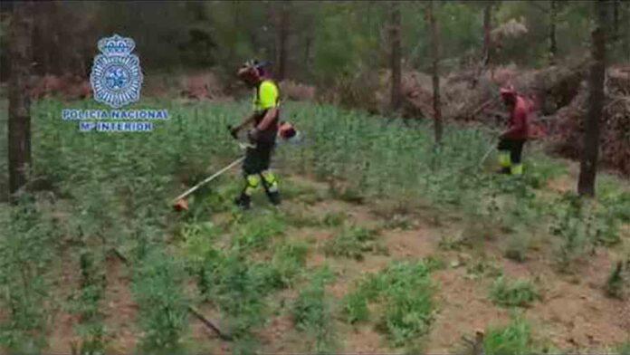 Desmantelada la mayor plantación de marihuana localizada hasta la fecha en Aragón
