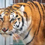 Los tigres rescatados en Polonia encontrarán un nuevo hogar en España
