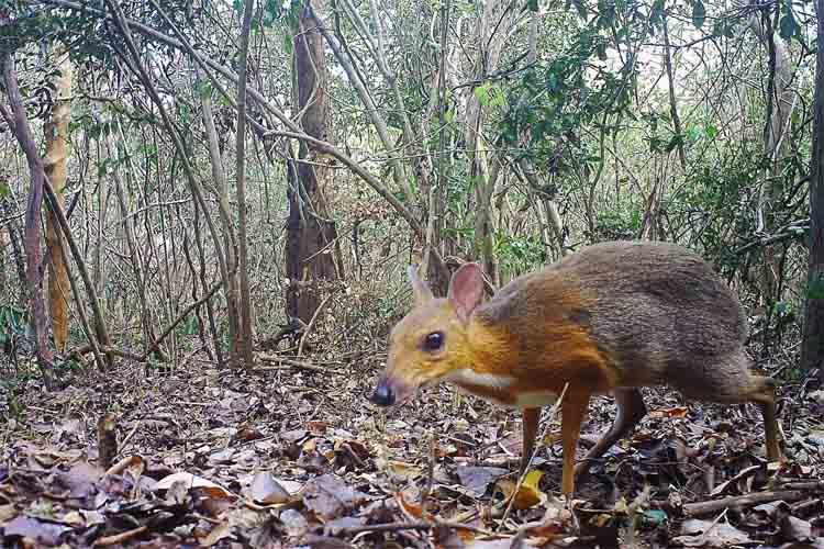 Reaparece el Ciervo Ratón de Vietnam después de 30 años