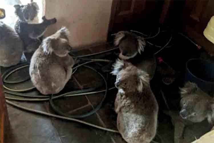 Los Canguros y Koales rescatados del fuego de Australia refleja los actos de heroísmo