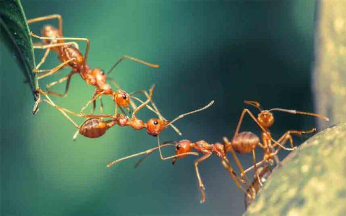 Las hormigas españolas encuentran el camino a casa caminando hacia atrás