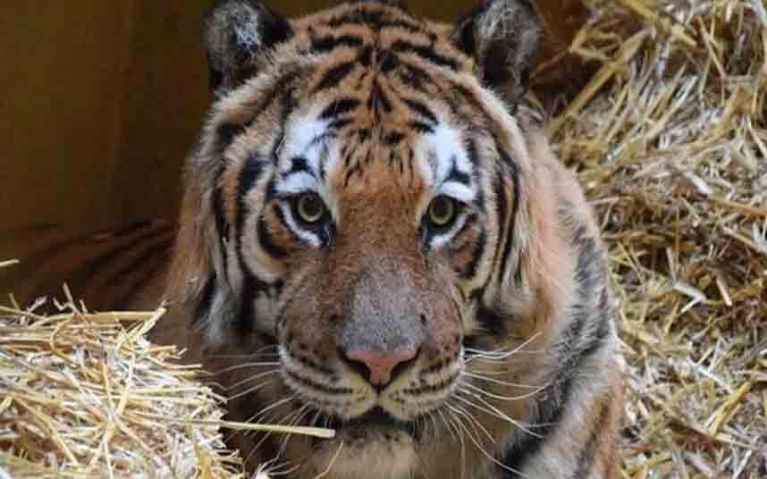 Los tigres rescatados en Polonia ya están de camino a Alicante