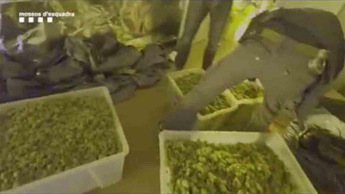 Desmantelan una plantación con 3.000 plantas de marihuana en una nave de Hospitalet de Llobregat