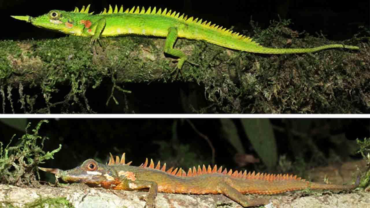 Encontrado un lagarto dragón con cuernos nasales perdido para la ciencia durante más de 100 años