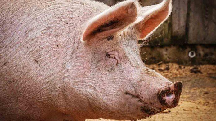 Nueva gripe porcina con potencial pandémico identificada en China