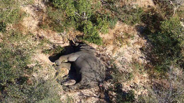 350 elefantes encontrados muertos en Botswana en los últimos dos meses