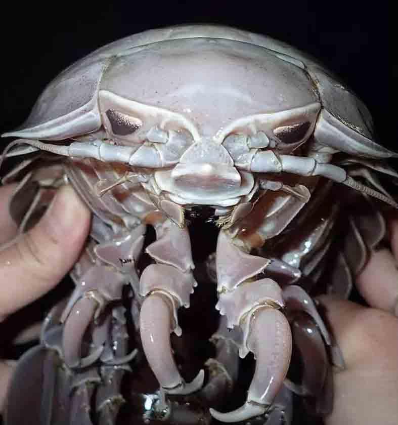 Encuentran una cucaracha marina gigante con 14 patas
