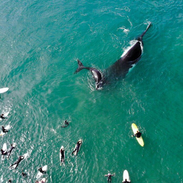 Una ballena jorobada y su cría, a 10 metros de los surfistas en Sydney