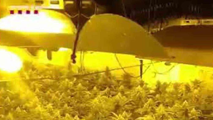 Desmantelan una organización que cultivaba y comercializaba marihuana para toda Europa