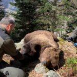 Detenido un agente de Medio Ambiente por la muerte del oso pardo Cachou