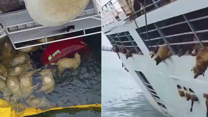 Rumanía es acusada de silencio por un barco que volcó y mató a 14.000 ovejas