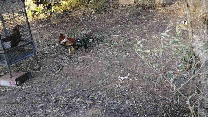 Denuncian a dos personas en Tarragona por mutilar crestas de gallos de pelea