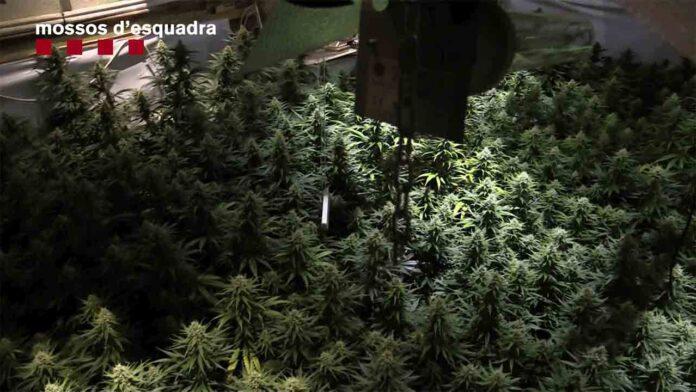 Desarticulado un grupo dedicado al cultivo y distribución de marihuana a gran escala