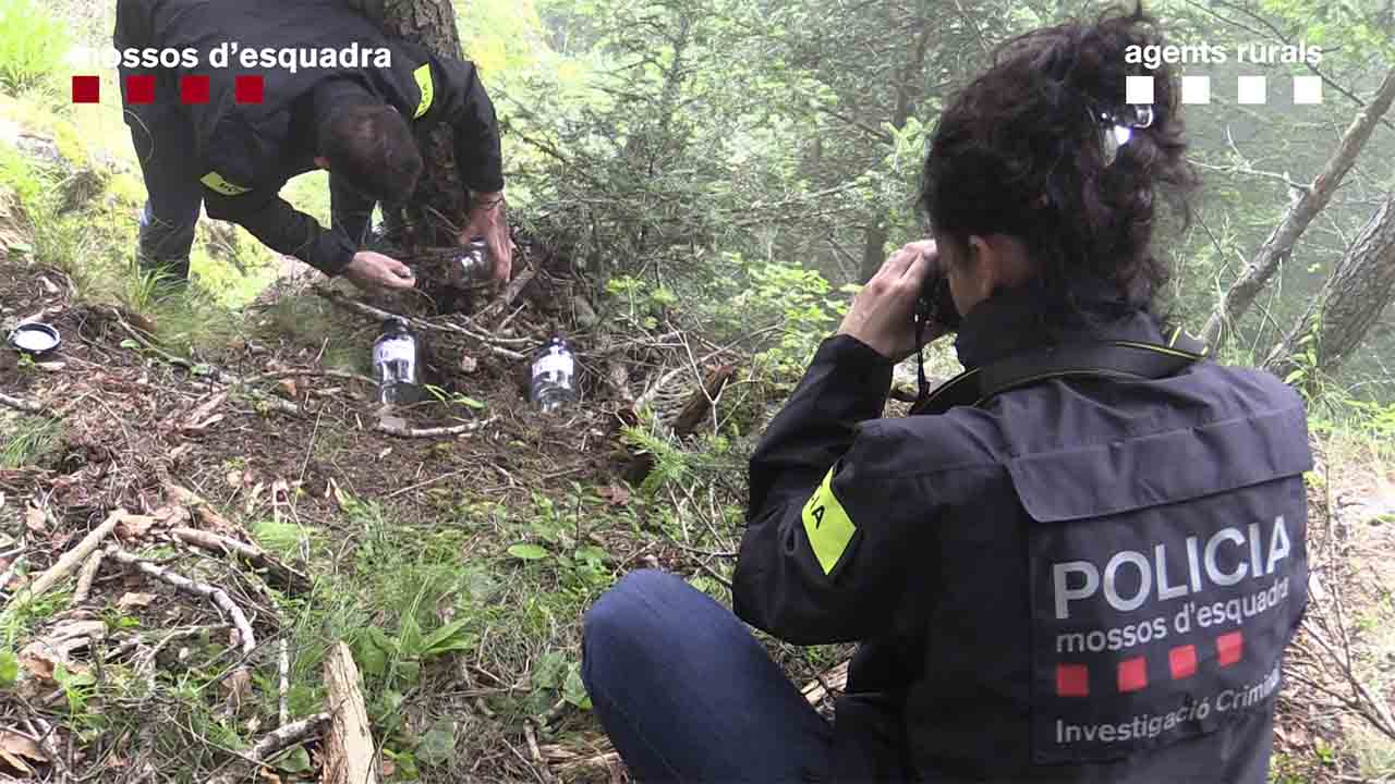 Detenido Detenido un hombre como responsable del envenenamiento del oso Cachouun hombre como responsable del envenenamiento del oso Cachou