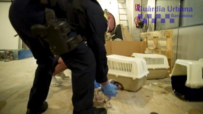 Intervenidos 33 perros en una tienda de animales del Eixample de Barcelona