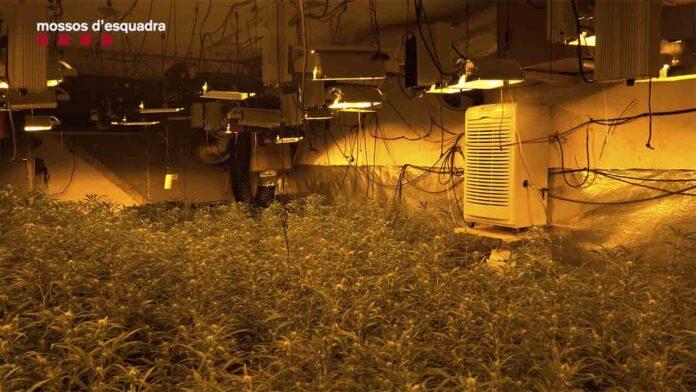 Desarticulados dos clanes familiares que habían creado empresas para cultivar marihuana en casas y masías