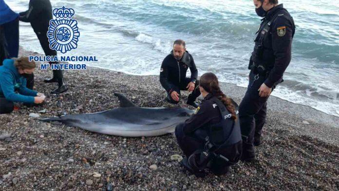 La Policía Nacional rescata un delfín varado en la playa de las Olas de Almería