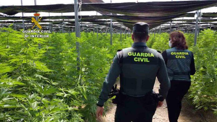 Intervenidas 64.000 plantas de cannabis en cinco plantaciones en Almería
