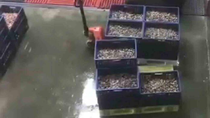 8 detenidos por comercializar almejas tóxicas