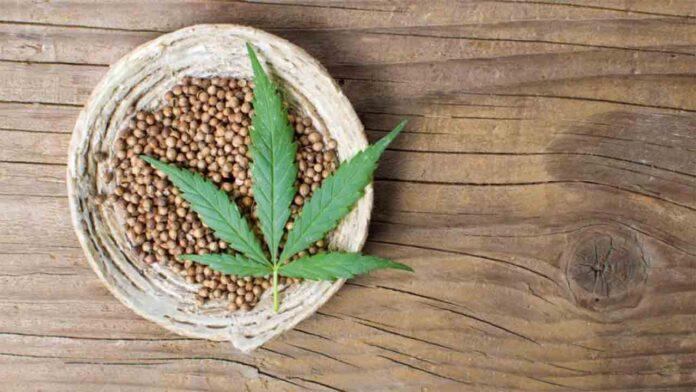 El cultivo de cannabis: un remedio natural con tantos adeptos como tiene en antigüedad