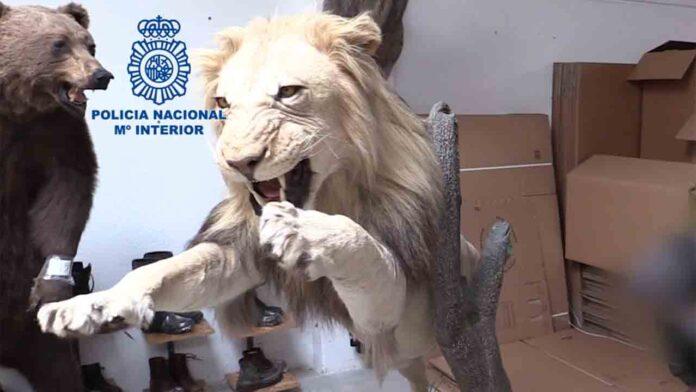 La Policía Nacional localiza 23 piezas de animales disecados en Barcelona