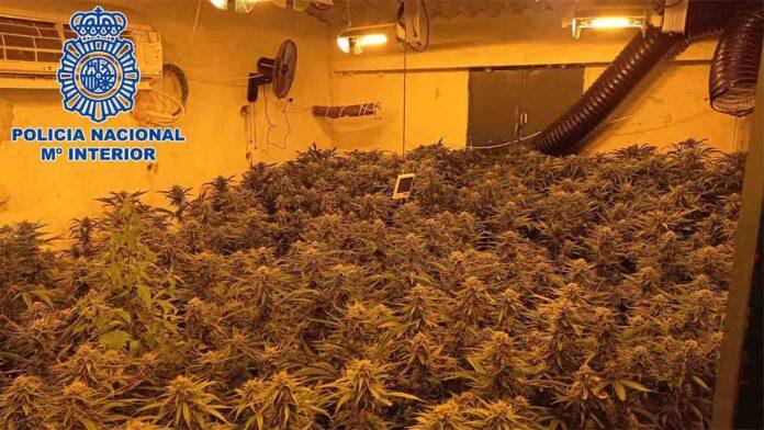 Desarticulado un grupo especializado en cultivos de cannabis sativa