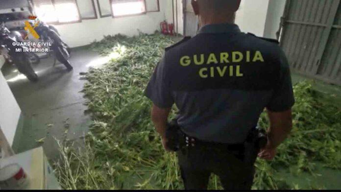 Decomisan 7.000 plantas de cannabis en Granada