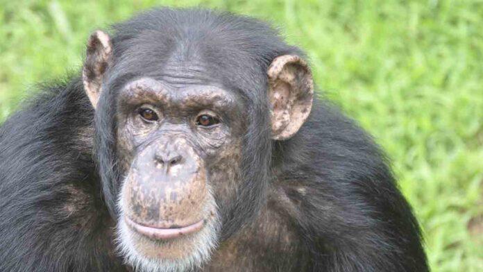 EEUU comenzará a vacunar a 77 chimpancés de un santuario en Georgia