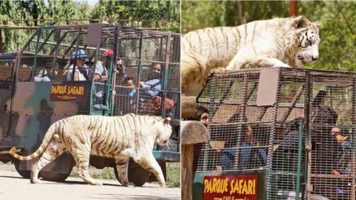 Muere una mujer en Chile atacada por un tigre que escapó de su jaula