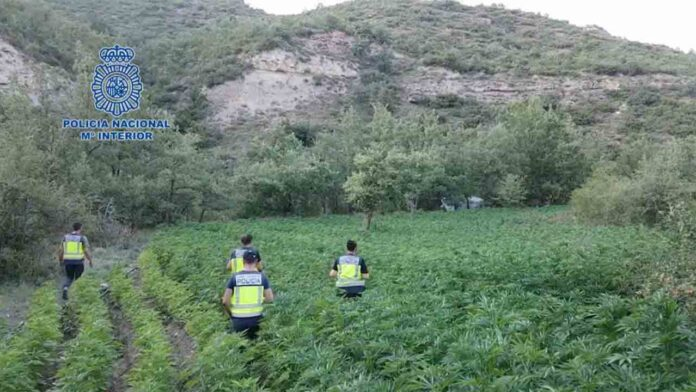Desmanteladas 8.200 plantas de marihuana en Huesca