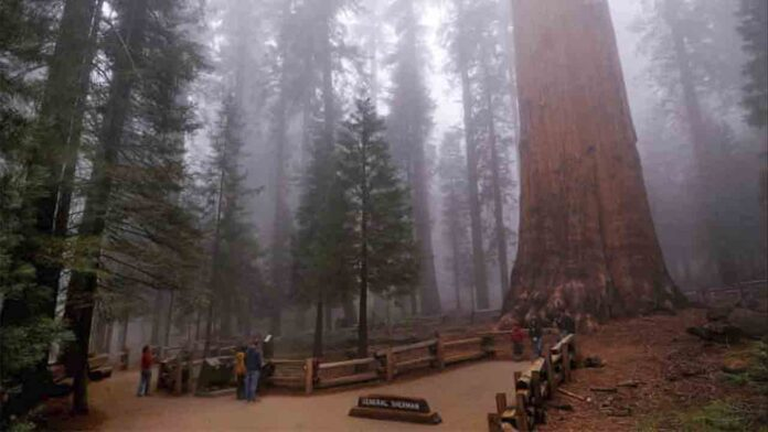 El árbol más grande del mundo envuelto en una manta resistente al fuego