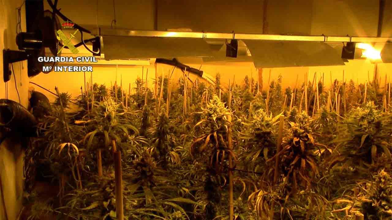Intervienen 6.000 plantas de marihuana en la provincia de Toledo
