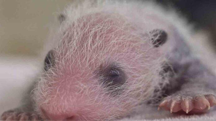 Panda gigante da a luz a gemelos en el zoo de Madrid