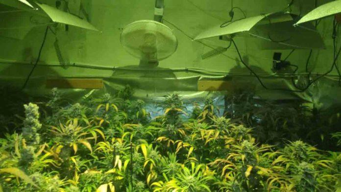 Seis detenidos en Jerez y Sánlucar por plantaciones de marihuana