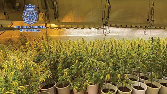 Desmantelada una plantación de marihuana de gran producción en Guadalajara